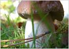 Белый гриб - Царь грибов