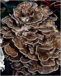 Мейтаке (Grifola frondosa – грифола курчавая) – второй по популярности целебный гриб в Японии.