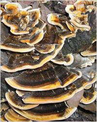 Шиитаке, мейтаке и другие целебные грибы