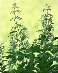 Крапива – полезные свойства крапивы, использование крапивы в кулинарии, медицине, знахарстве