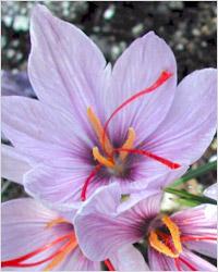 Шафран – это высушенные рыльца пестиков пурпурного крокуса (Crocus sativus)