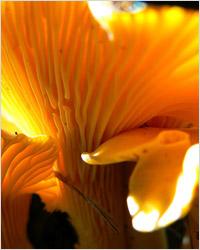 Грибы лисички. Лисичка – один из самых полезных грибов.