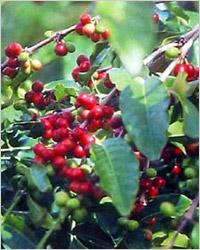 Куст растение кофе