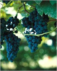 Виноград для портвейна
