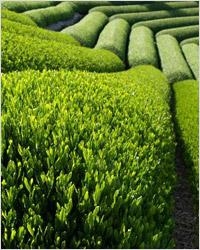 Плантация зелёного китайского чая