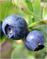 Голубика: лесная ягода