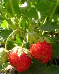 TOP 10 продуктов для красивых зубов - ягоды