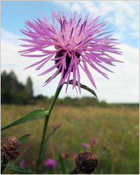 Съедобные цветы – Какие цветы можно есть