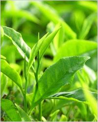 чайные листы