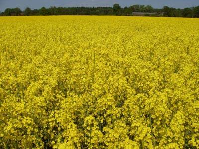 Желтый рапс для нашего здоровья