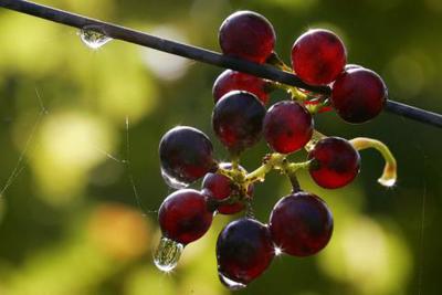 Виноград и красное вино не одинаково полезны