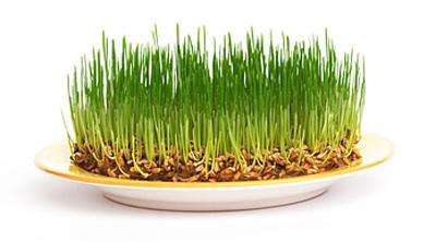 Полезный эффект ростков пшеницы