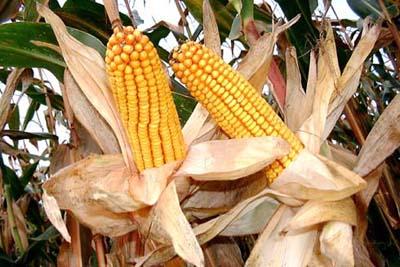 Изобретена новая безопасная генетически-изменная кукуруза