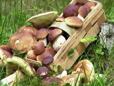 Лесные грибы можно есть лишь в ограниченных количествах