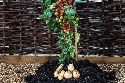 Выращен гибрид картофеля и помидора