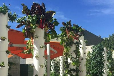 Ресторан выращивает зелень в колоннах