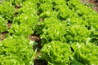Японские роботы будут выращивать салат