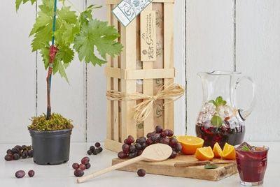 Выращенная дома виноградная лоза позволит приготовить домашнее вино