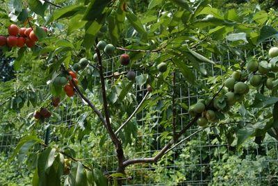 Дерево, которое дает 40 различных плодов