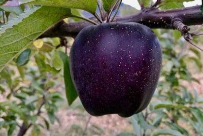 В горах Тибета растут черные яблоки