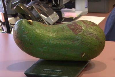 Гавайский фермер выращивает авокадо весом более 2,7 кг