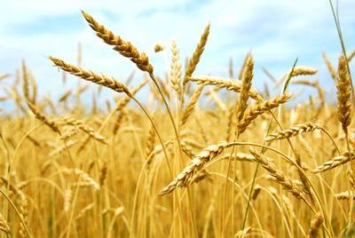Российские ученые представили диетическую пшеницу