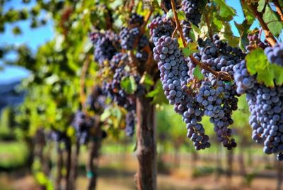 В Испании состоится виноградная битва