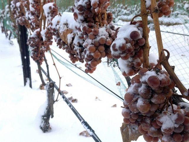 Германия впервые осталась без урожая для «ледяного вина»