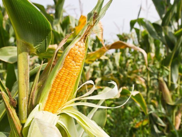В Ингушетии вырастили кукурузу из зерен возрастом 100 лет