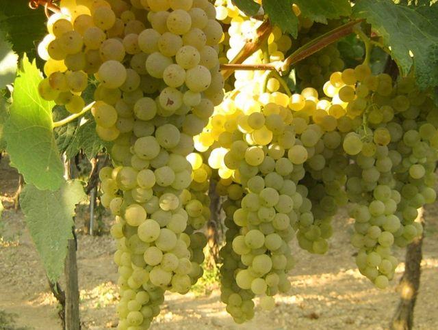 Изменение климата вынуждает производителей коньяка экспериментировать с новыми сортами винограда