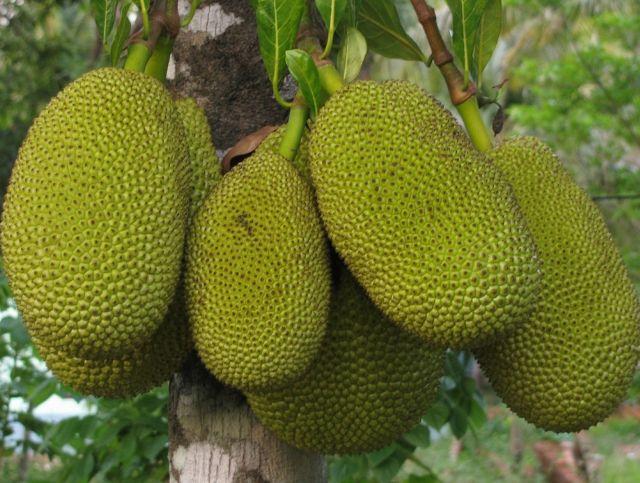Семья из Индии обнаружила джекфрут весом 51 кг
