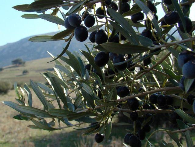 Европейским оливковым плантациям угрожает неизлечимая болезнь