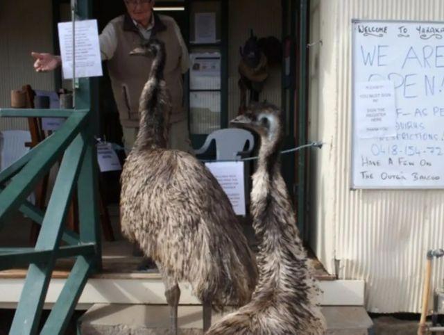 Австралийским эму запретили заходить в паб