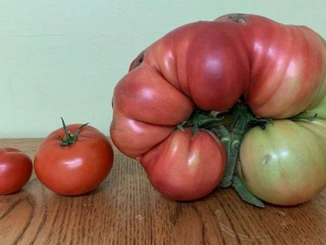 Британец вырастил гигантский помидор весом 3 кг с помощью капроновых колготок